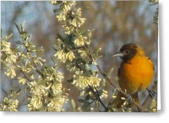Oriole IIi Greeting Card
