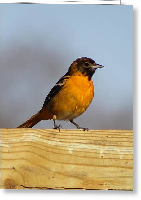 Oriole Iv Greeting Card