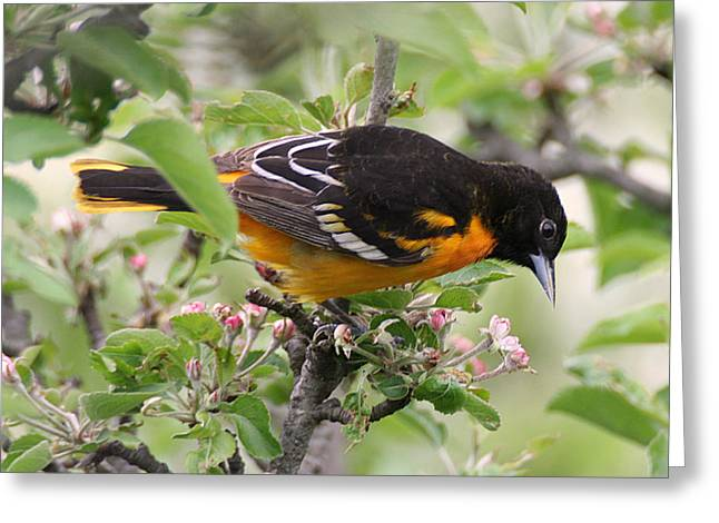 Oriole With Apple Blossoms Greeting Card