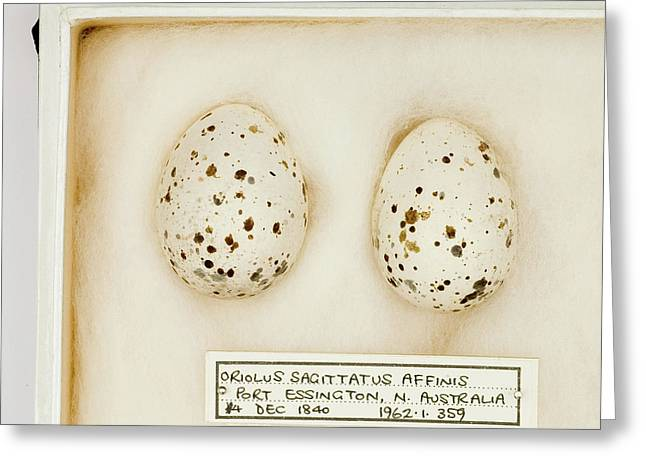 Oriolus Sagittatus Affinis Eggs Greeting Card by Natural History Museum, London