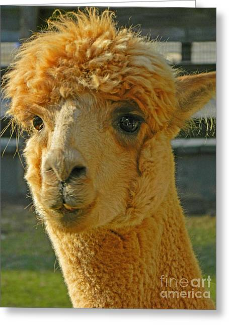 Orion The Alpaca Greeting Card by Emmy Marie Vickers