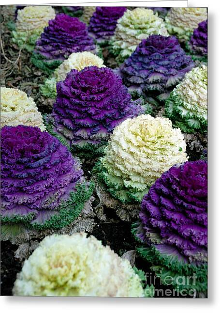 Ornamental Cabbage Greeting Card