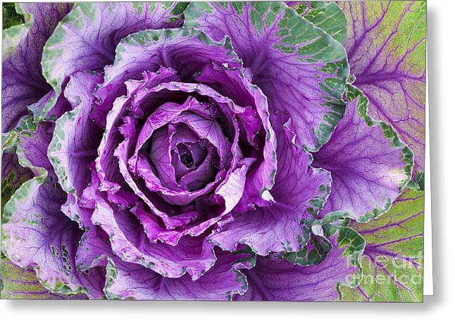 Ornamental Cabbage Greeting Card by Tim Gainey