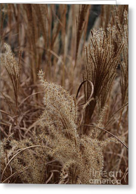 Ornamental Grass Greeting Card by Arlene Carmel