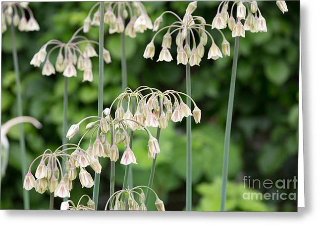 Ornamental Onion Greeting Card by Louise Heusinkveld