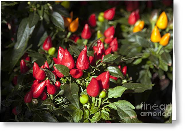 Ornamental Peppers Greeting Card by Peter French