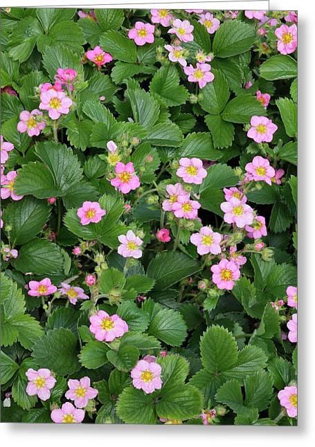 Ornamental Strawberry Flowers. Greeting Card