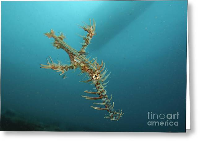 Ornate Ghost Pipefish, Gorontalo Greeting Card by Steve Jones