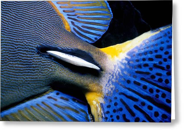 Ornate Surgeonfish Tail Greeting Card