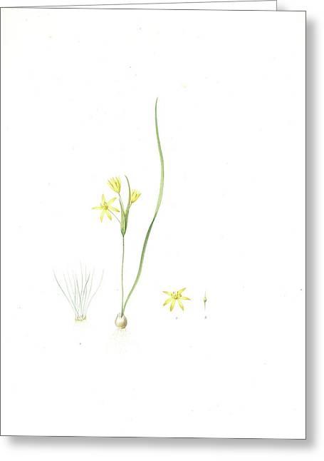 Ornithogalum Fistulosum Greeting Card by Artokoloro