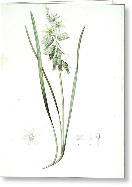 Ornithogalum Nutans, Ornithogale Penché Drooping Star Greeting Card