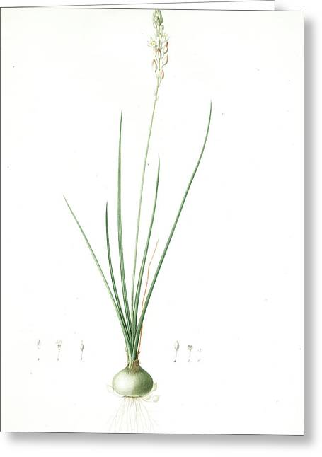 Ornithogalum Tenuifolium, Ornithogalum Graminifolium Greeting Card by Artokoloro