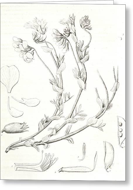 Orobus Littoralis, 1. Vexillum, Wing, And A Keel Petal, 2 Greeting Card