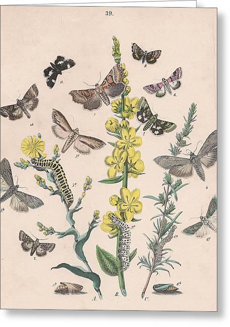 Orthosdiae - Cleophanidae - Cucullidae - Heliothidae - Anartidae - Acontidae Greeting Card by W Kirby