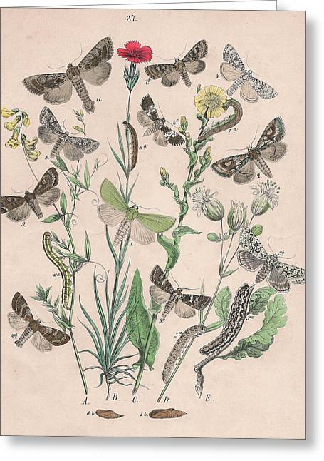 Orthosidae - Hadenidae Greeting Card by W
