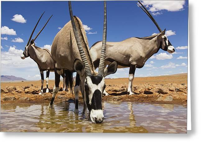 Oryx At Waterhole Namibrand Nature Greeting Card by Theo Allofs