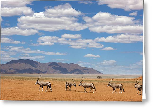 Oryx Crossing Desert Namibrand Nature Greeting Card by Theo Allofs