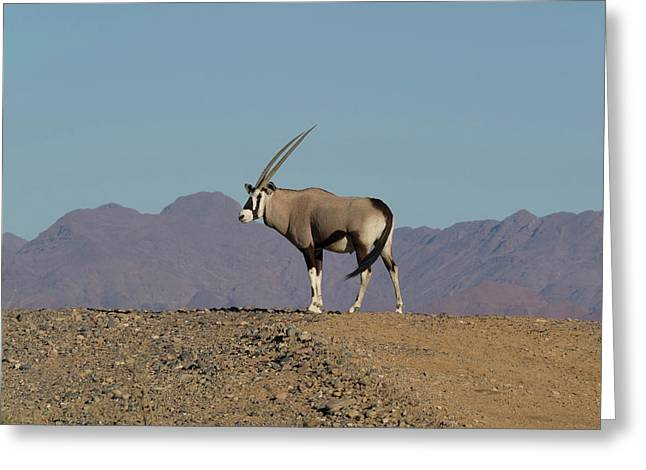 Oryx Standing On A Hill, Namib-naukluft Greeting Card by Panoramic Images