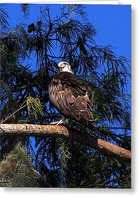Osprey 005 Greeting Card