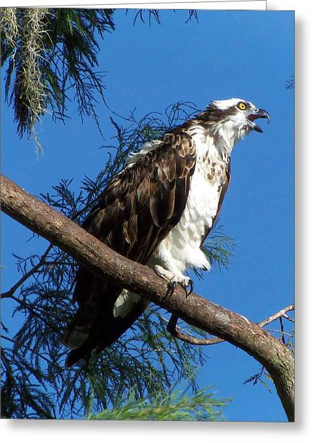Osprey 102 Greeting Card