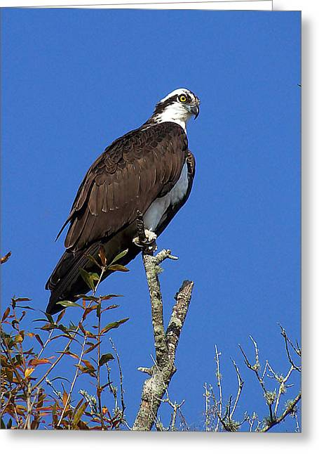 Osprey 109 Greeting Card