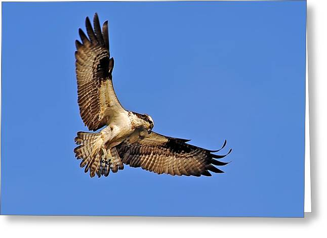 Osprey Beauty Greeting Card