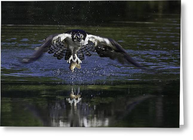 Osprey Bird Of Prey Greeting Card by David Lester