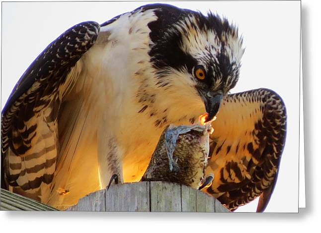 Greeting Card featuring the photograph Osprey Breakfast by Dianne Cowen