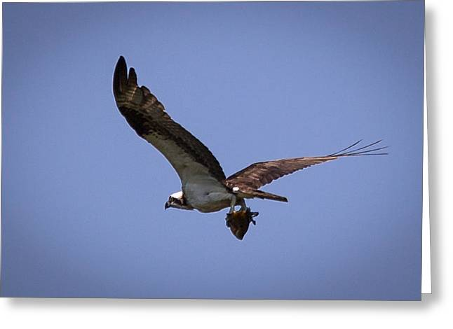Osprey Carrying Fish  Greeting Card