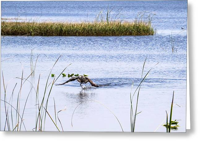 Osprey Caught A Fish Greeting Card by Zina Stromberg