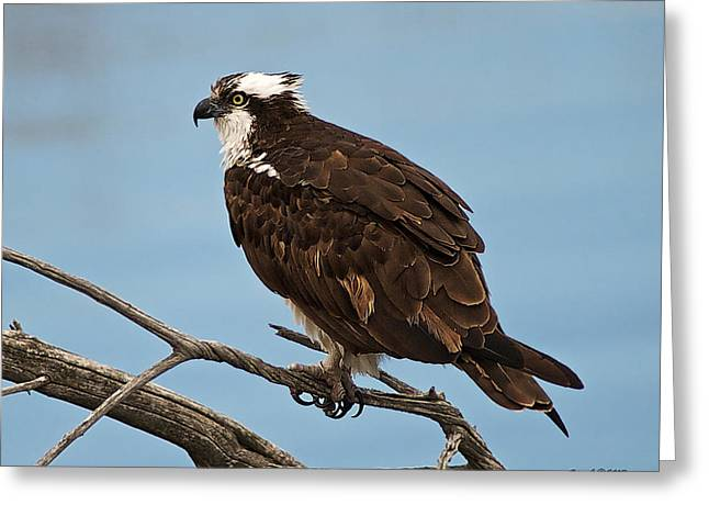 Osprey Close-up Greeting Card by Stephen  Johnson