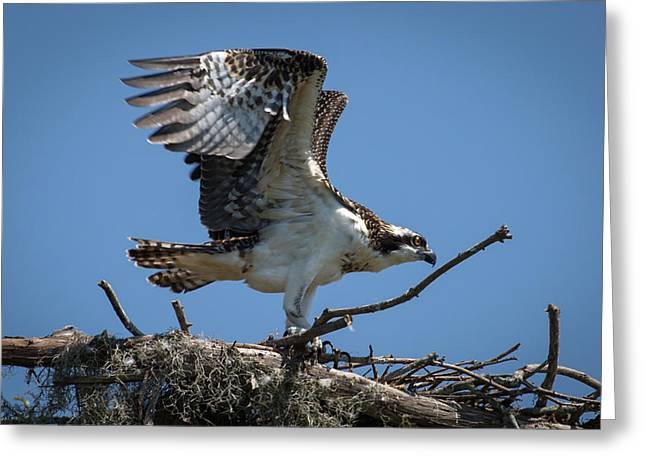 Osprey Departing Nest Greeting Card