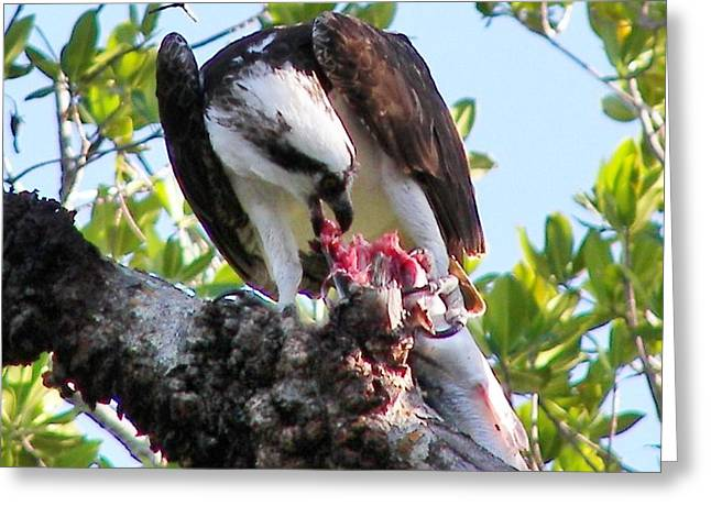 Osprey Eating A Large Fish Greeting Card by Judy Via-Wolff