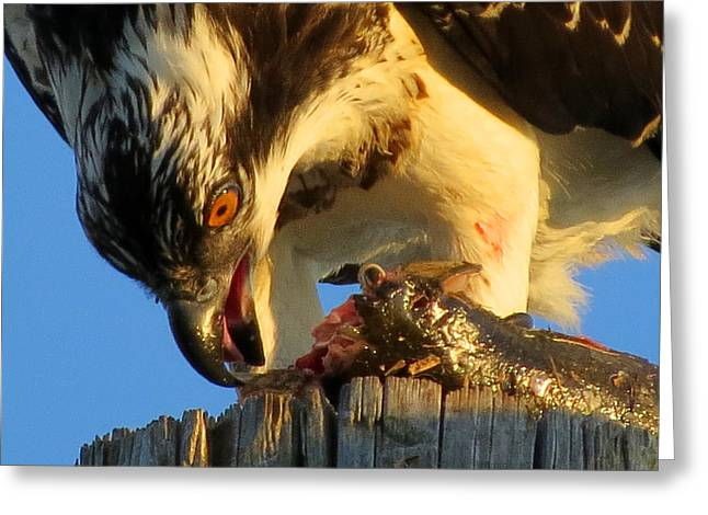 Osprey In August Greeting Card by Dianne Cowen