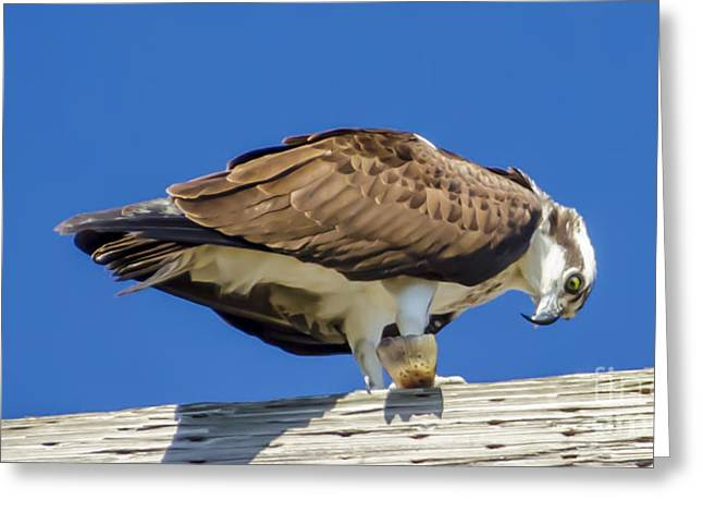 Greeting Card featuring the photograph Osprey Eating Lunch by Dale Powell