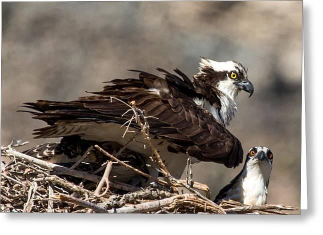 Osprey Family Huddle Greeting Card by John Daly