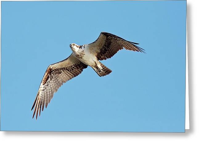 Osprey In Flight Greeting Card by Bob Gibbons