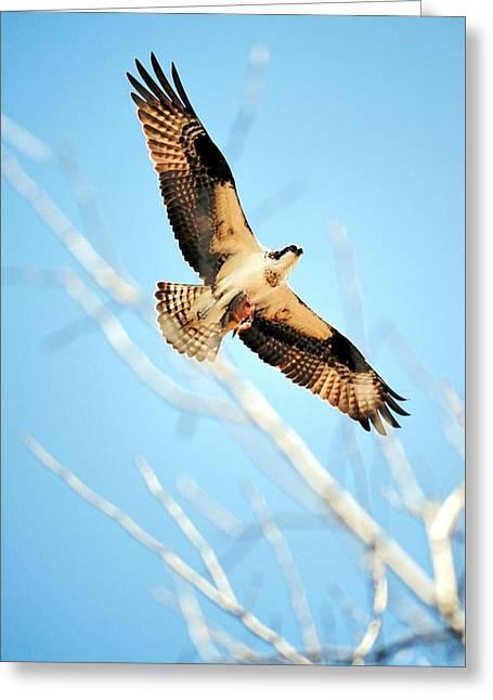 Osprey In Flight  Greeting Card by Bobbie Urbanczyk