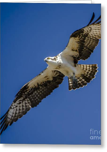 Greeting Card featuring the photograph Osprey In Flight by Dale Powell