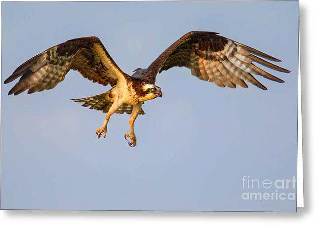 Osprey In Flight Greeting Card by Jerry Fornarotto