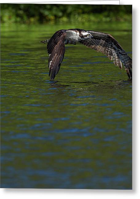 Osprey In-flight, Pandion Haliaetus Greeting Card