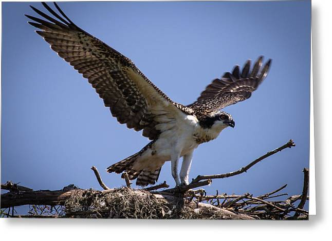 Osprey In Nest Ready To Fly Greeting Card