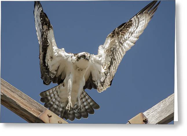 Greeting Card featuring the photograph Osprey Landing by Dale Powell