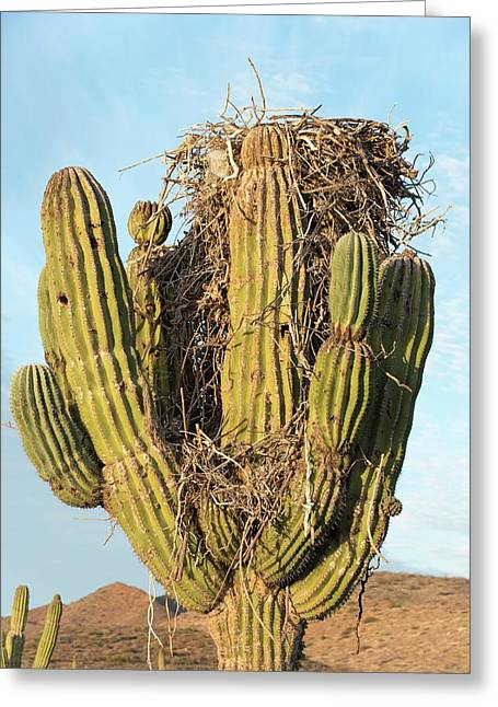 Osprey Nest In A Cactus Greeting Card by Christopher Swann