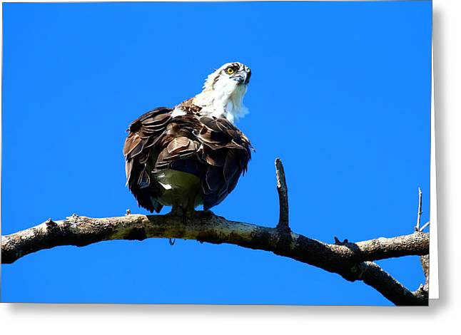 Osprey On A Branch Greeting Card by Christiane Schulze Art And Photography