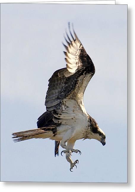 Osprey On Fripp Island Greeting Card by Bill LITTELL