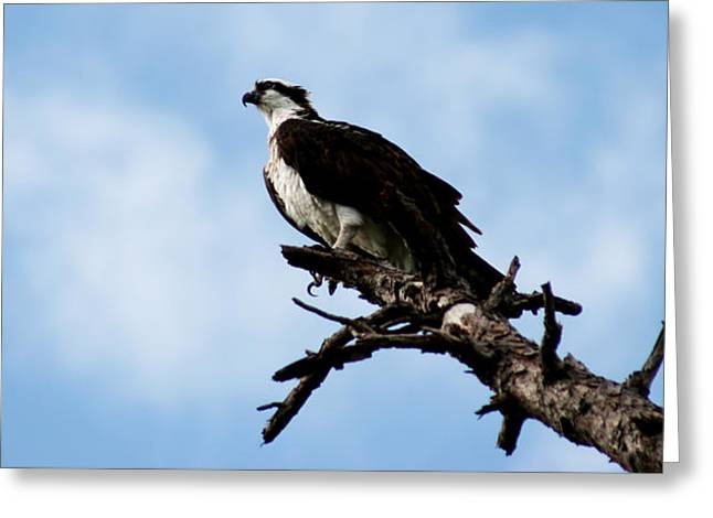 Osprey On Perch Greeting Card by Marty Gayler