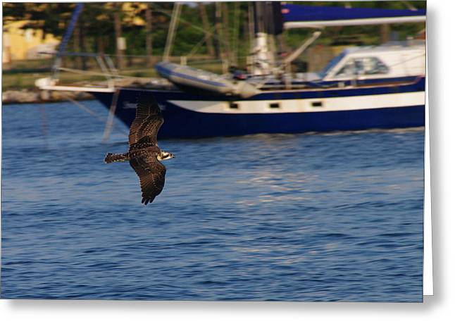 Greeting Card featuring the photograph Osprey On The Hunt by Greg Graham