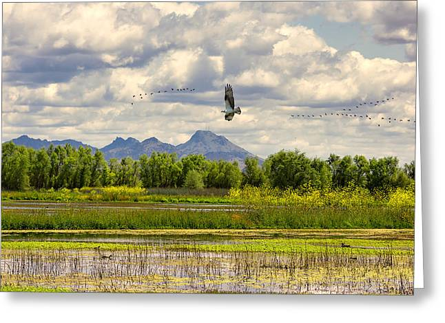 Osprey Over The Wetlands Greeting Card
