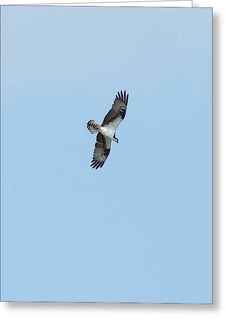 Osprey Overhead Greeting Card by Lynda Dawson-Youngclaus